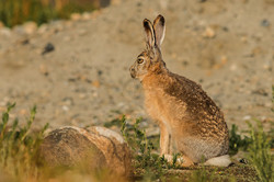 Woolly Hare
