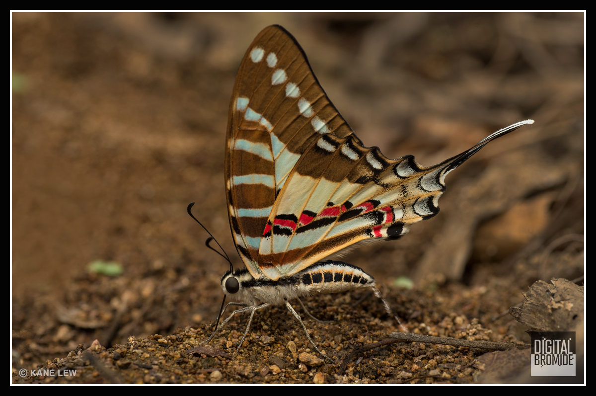 Swordtail Butterfly