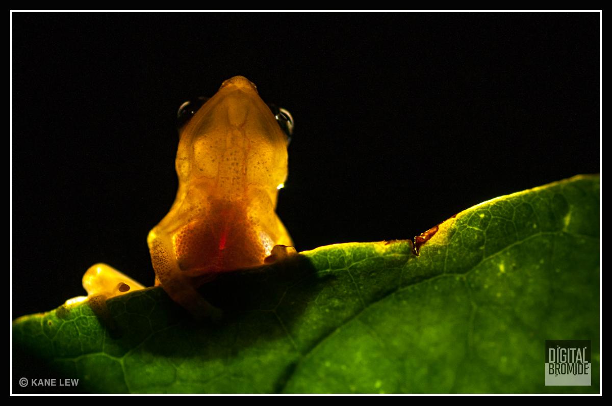 Bush frog