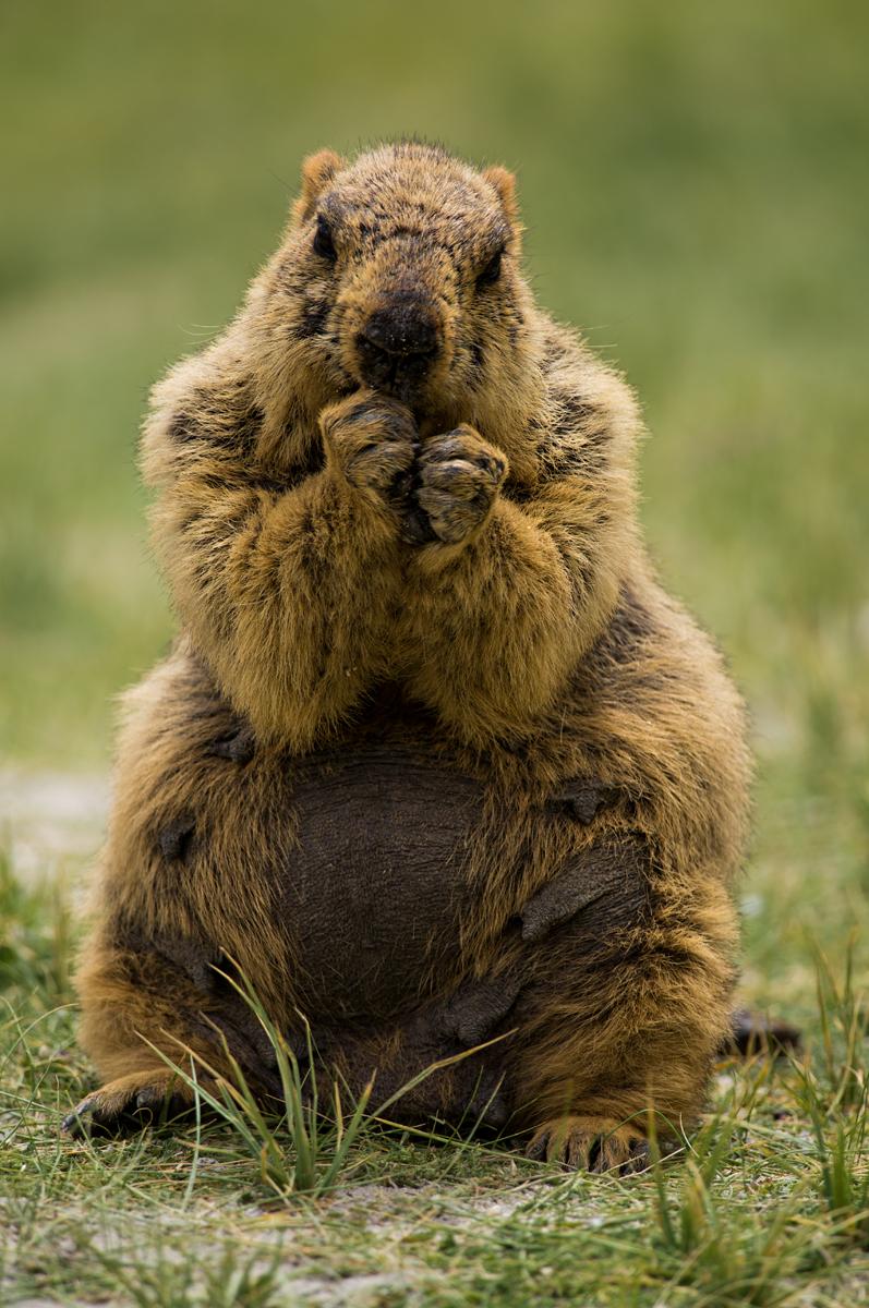Himalayan Mormot