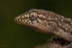 Brooks gecko