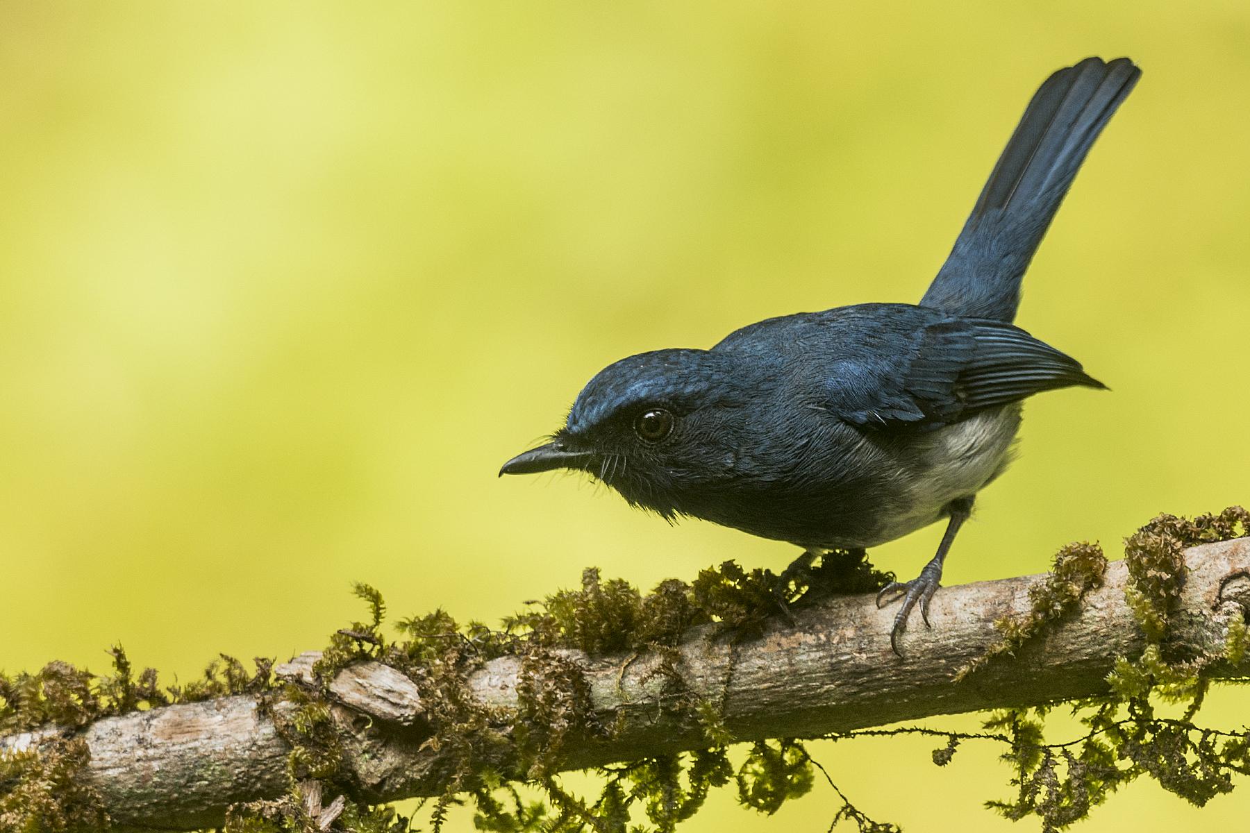 White-bellied Blue Flycatcher