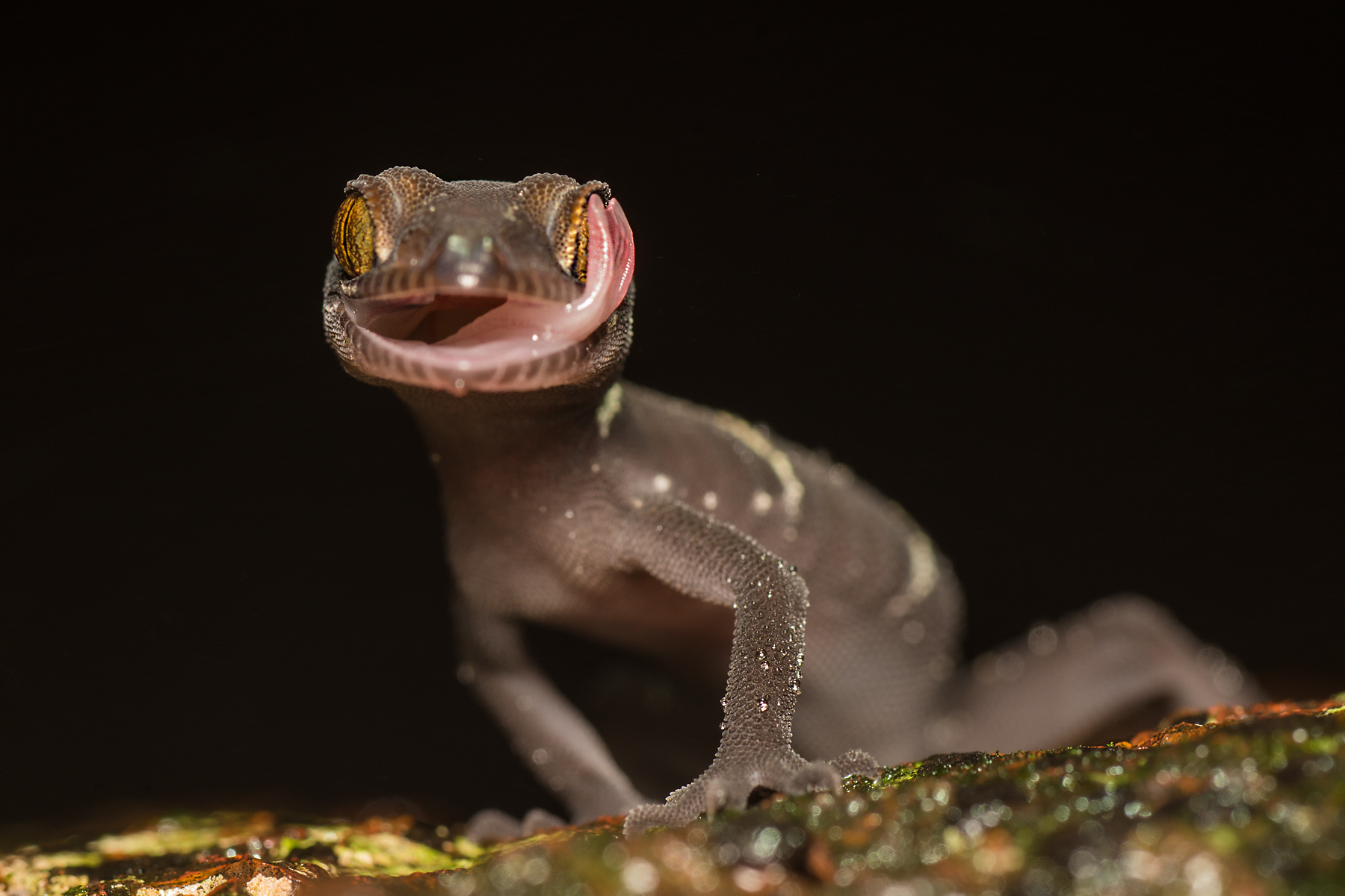 White banded Gecko