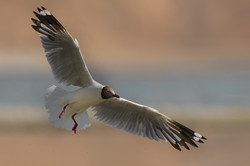 Brown headed Seagull