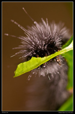 Wolly caterpillar