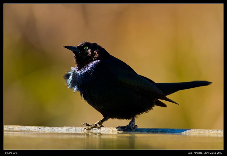 Rusty Black Bird