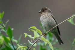 Brandts mountain bird