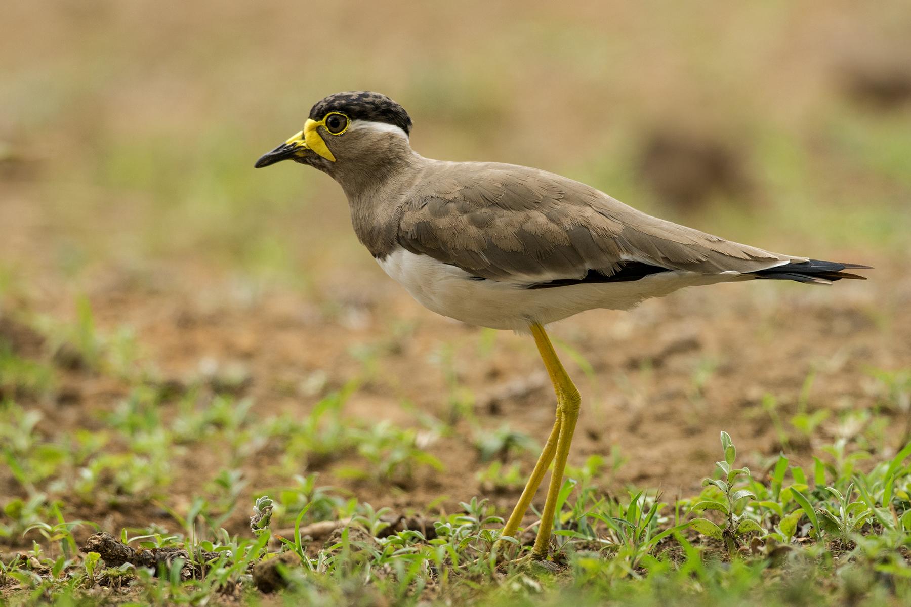 Yellow wattled lapwing