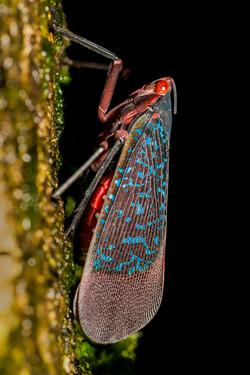 Lantern bug - Kalidasa