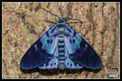 Blue Tiger Moth