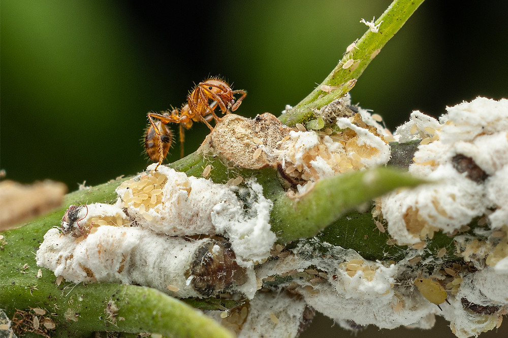 Ant with aphids