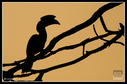 Malabar-pied Hornbill
