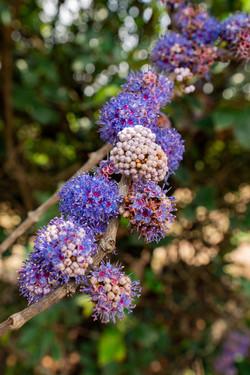 Anjani-Memecylon Umbellatum flowers