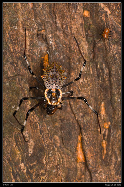 Ornamental Spider