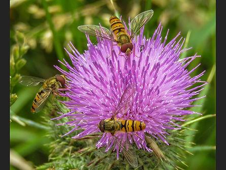 Marmalade Hoverflies Nick White.jpg