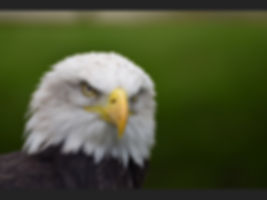 HC Bald Eagle.jpg