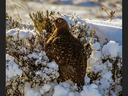 Grouse nestled in the snow.jpg