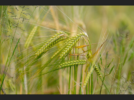 Barley Heads   Sue White.jpg