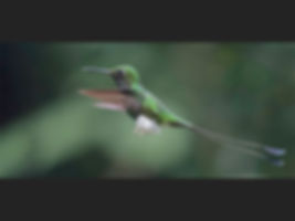 Booted Racket-tail Hummingbird_Jane Morr