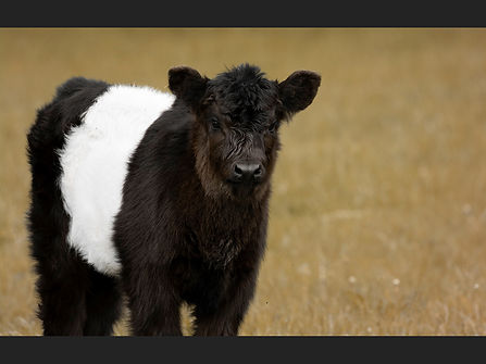 30 The Belted Galloway Calf.jpg