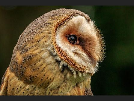 75 Barn Owl profile - Copy.JPG