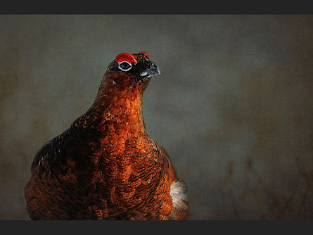 Portrait of a Grouse   Sue White.jpg