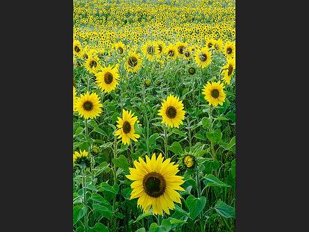 Sunflower Splendour Jane Morris Abson copy.jpg