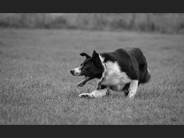 Working sheepdog Inesa.jpg