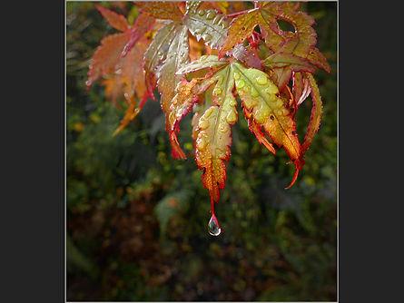 Acer leaves. T.Lane HC.JPG