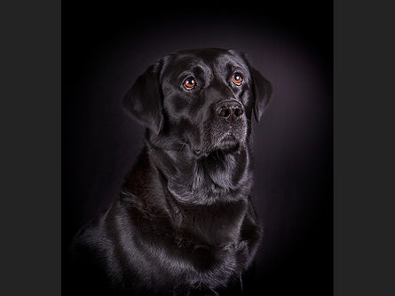 Black labrador chris Hadfied .jpg