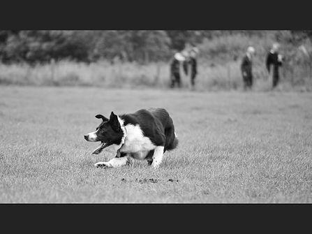 23 Working sheepdog.jpg