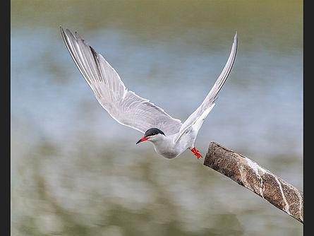 Tern Take-off Jane Morris Abson.jpg