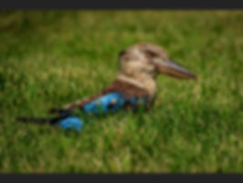 83a Kookaburra pleased with catch - Copy