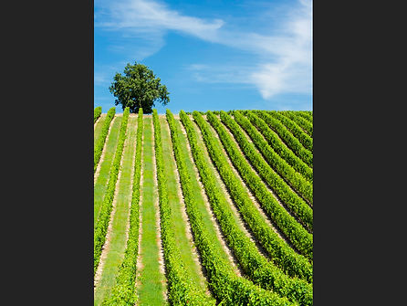 Overseeing the Vines (1).jpg