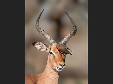 70 Impala with Oxpecker - Copy.jpg