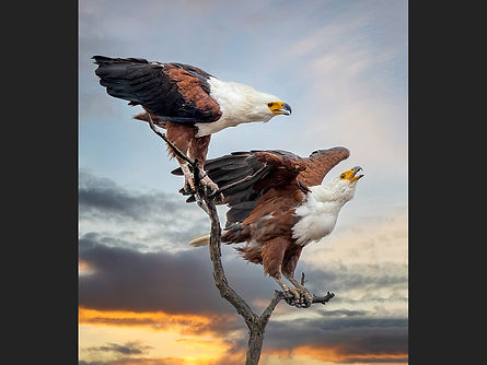 05 Fish Eagles calling.jpg