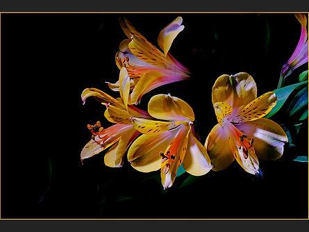 100 Alstroemeria Appears copy.jpg