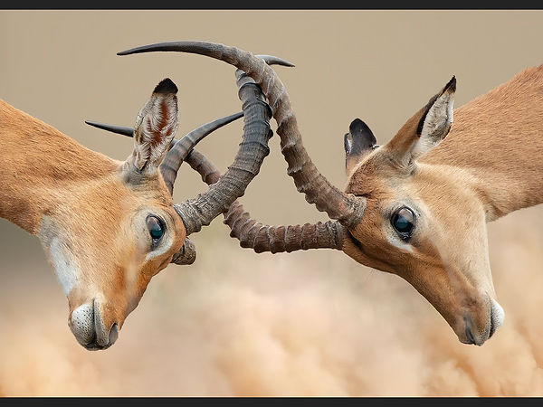25 Impala Bucks.jpg