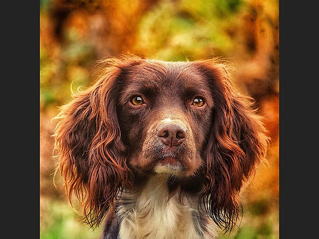 72 autumn spaniel - Copy.JPG