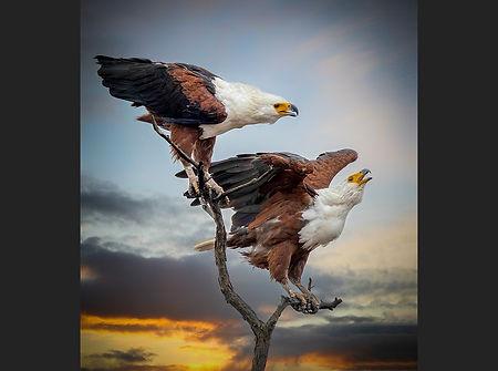 Fish Eagles calling Chris Hadfield.jpg