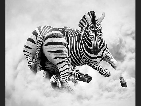 1st Zebra fighting Chris Hadfield.jpg
