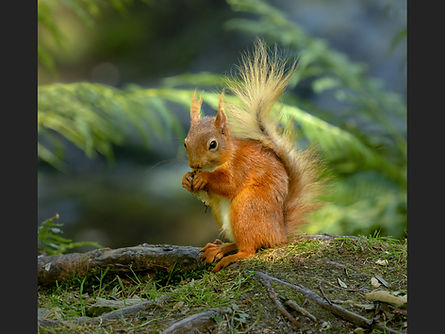 Red Squirrel copy.jpg