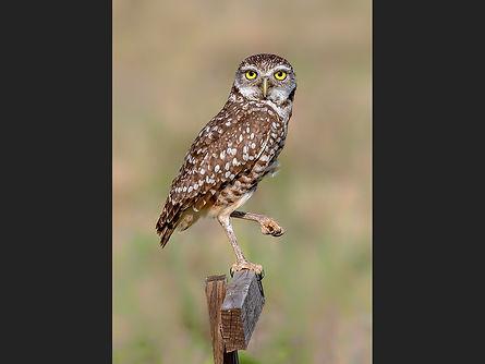 Burrowing Owl Chris Hadfield.jpg