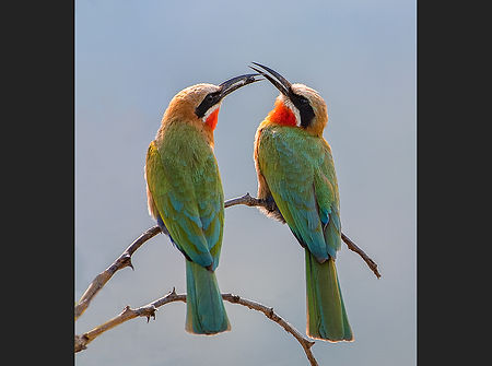 Bee eater pair.jpg