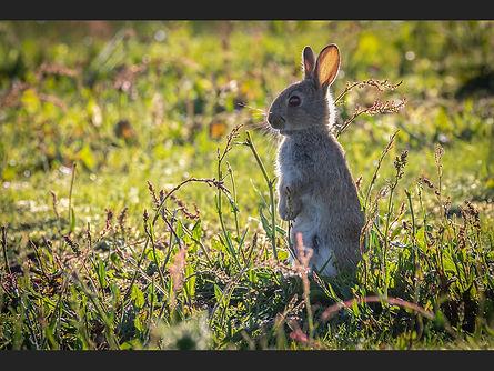 Backlit Baby Bunny John Gilbert.jpg