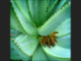 HC Cactus in fruit Trevor Lane.jpg