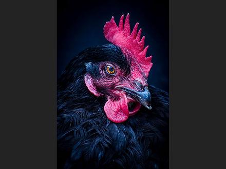 37 The portrait of chicken .jpg