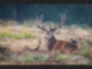 Richmond park   Deer rut-5.jpg
