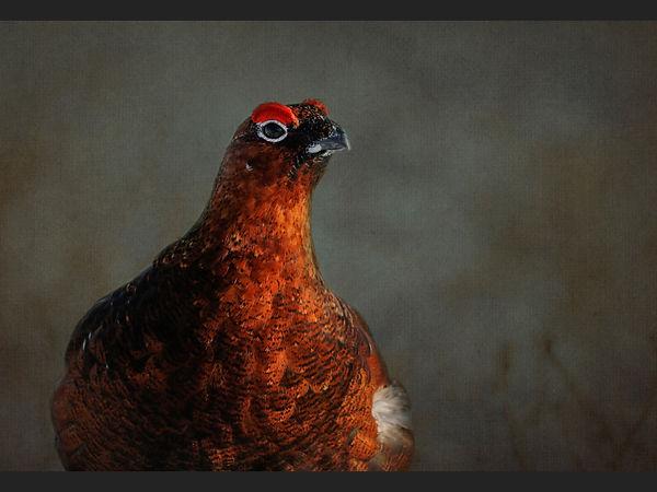 22 Portrait of a Grouse.jpg