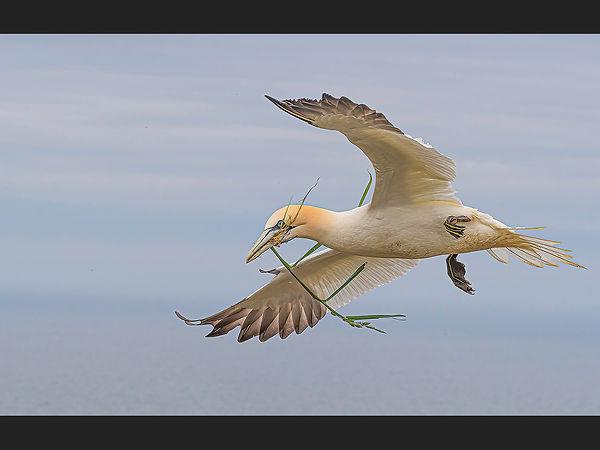 Gannet with Nesting Material Jane Morris Abson copy.jpg